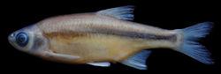 Figure 3. Alburnoides manyasensis; Turkey: Balıkesir Province: Koca Stream, Lake Manyas drainage, holotype, FFR 01069, female, 82 mm SL.