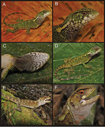 Figure 3. Adult male (A, B, C CORBIDI 08786), juvenile male (D CORBIDI 09213), and adult female (E, F CORBIDI 08826) of Enyalioides azulae. Photographs by P.J. Venegas.