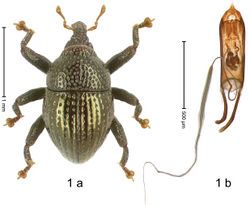 Figure 1. Trigonopterus aeneipennis Riedel, sp. n., holotype; (a) Habitus (b) Aedeagus.