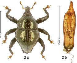 Figure 2. Trigonopterus aeneus Riedel, sp. n., holotype; (a) Habitus (b) Aedeagus.