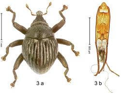 Figure 3. Trigonopterus agathis Riedel, sp. n., holotype; (a) Habitus (b) Aedeagus.