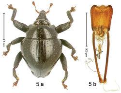 Figure 5. Trigonopterus amplipennis Riedel, sp. n., holotype; (a) Habitus (b) Aedeagus.