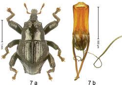 Figure 7. Trigonopterus angulatus Riedel, sp. n., holotype; (a) Habitus (b) Aedeagus.