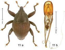 Figure 11. Trigonopterus ascendens Riedel, sp. n., holotype; (a) Habitus (b) Aedeagus.