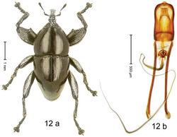 Figure 12. Trigonopterus augur Riedel, sp. n., holotype; (a) Habitus (b) Aedeagus.