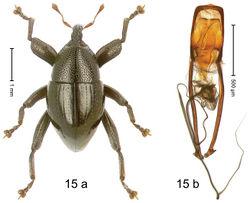 Figure 15. Trigonopterus conformis Riedel, sp. n., holotype; (a) Habitus (b) Aedeagus.