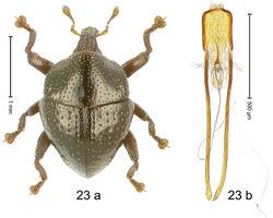 Figure 23. Trigonopterus discoidalis Riedel, sp. n., holotype; (a) Habitus (b) Aedeagus.