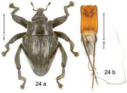 Figure 24. Trigonopterus dromedarius Riedel, sp. n., holotype; (a) Habitus (b) Aedeagus.