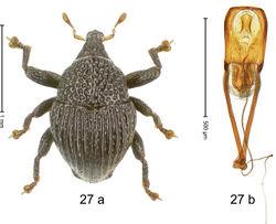 Figure 27. Trigonopterus edaphus Riedel, sp. n., holotype; (a) Habitus (b) Aedeagus.