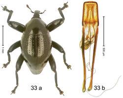 Figure 33. Trigonopterus gonatoceros Riedel, sp. n., holotype; (a) Habitus (b) Aedeagus.