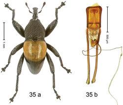 Figure 35. Trigonopterus helios Riedel, sp. n., holotype; (a) Habitus (b) Aedeagus.