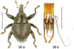 Figure 36. Trigonopterus hitoloorum Riedel, sp. n., holotype; (a) Habitus (b) Aedeagus.