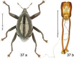 Figure 37. Trigonopterus imitatus Riedel, sp. n., holotype; (a) Habitus (b) Aedeagus.