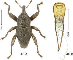 Figure 40. Trigonopterus irregularis Riedel, sp. n., holotype; (a) Habitus (b) Aedeagus.