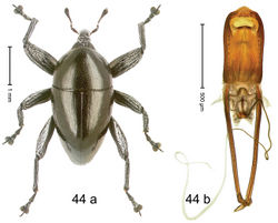 Figure 44. Trigonopterus koveorum Riedel, sp. n., holotype; (a) Habitus (b) Aedeagus.