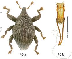 Figure 45. Trigonopterus kurulu Riedel, sp. n., holotype; (a) Habitus (b) Aedeagus.