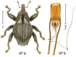 Figure 47. Trigonopterus lineatus Riedel, sp. n., holotype; (a) Habitus (b) Aedeagus.