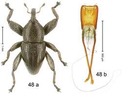 Figure 48. Trigonopterus lineellus Riedel, sp. n., holotype; (a) Habitus (b) Aedeagus.