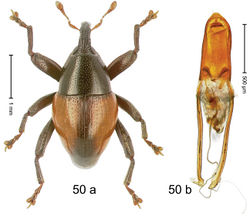 Figure 50. Trigonopterus mimicus Riedel, sp. n., holotype; (a) Habitus (b) Aedeagus.