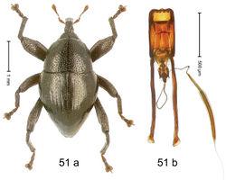 Figure 51. Trigonopterus monticola Riedel, sp. n., holotype; (a) Habitus (b) Aedeagus.