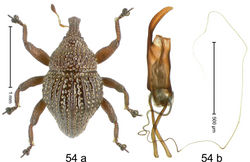 Figure 54. Trigonopterus myops Riedel, sp. n., holotype; (a) Habitus (b) Aedeagus.
