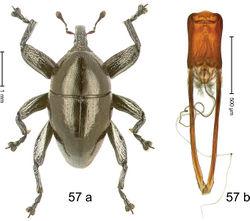 Figure 57. Trigonopterus ovatus Riedel, sp. n., holotype; (a) Habitus (b) Aedeagus.