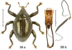 Figure 58. Trigonopterus oviformis Riedel, sp. n., holotype; (a) Habitus (b) Aedeagus.