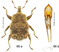 Figure 66. Trigonopterus ptolycoides Riedel, sp. n., holotype; (a) Habitus (b) Aedeagus.