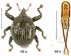 Figure 69. Trigonopterus rhinoceros Riedel, sp. n., holotype; (a) Habitus (b) Aedeagus.