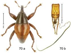 Figure 70. Trigonopterus rhomboidalis Riedel, sp. n., holotype; (a) Habitus (b) Aedeagus.