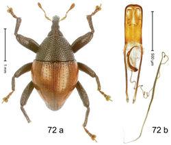 Figure 72. Trigonopterus rubripennis Riedel, sp. n., holotype; (a) Habitus (b) Aedeagus.