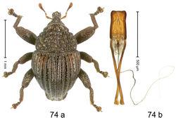 Figure 74. Trigonopterus scabrosus Riedel, sp. n., holotype; (a) Habitus (b) Aedeagus.