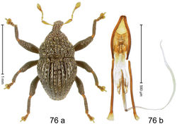 Figure 76. Trigonopterus scharfi Riedel, sp. n., holotype; (a) Habitus (b) Aedeagus.