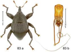 Figure 83. Trigonopterus strigatus Riedel, sp. n., holotype; (a) Habitus (b) Aedeagus.