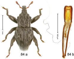 Figure 84. Trigonopterus strombosceroides Riedel, sp. n., holotype; (a) Habitus (b) Aedeagus.