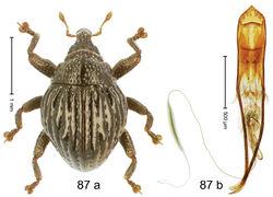 Figure 87. Trigonopterus taenzleri Riedel, sp. n., holotype; (a) Habitus (b) Aedeagus.
