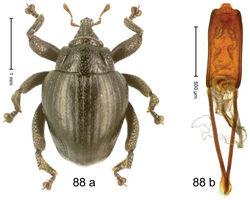 Figure 88. Trigonopterus talpa Riedel, sp. n., holotype; (a) Habitus (b) Aedeagus.
