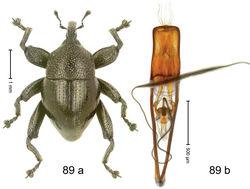 Figure 89. Trigonopterus taurekaorum Riedel, sp. n., holotype; (a) Habitus (b) Aedeagus.