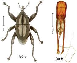 Figure 90. Trigonopterus tialeorum Riedel, sp. n., holotype; (a) Habitus (b) Aedeagus.
