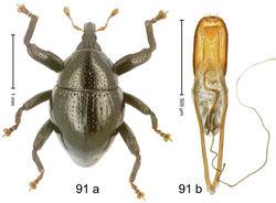 Figure 91. Trigonopterus tibialis Riedel, sp. n., holotype; (a) Habitus (b) Aedeagus.