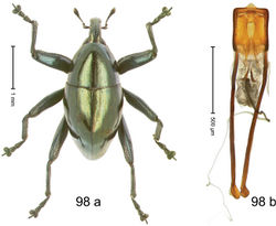 Figure 98. Trigonopterus viridescens Riedel, sp. n., holotype; (a) Habitus (b) Aedeagus.