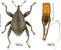 Figure 100. Trigonopterus wariorum Riedel, sp. n., holotype; (a) Habitus (b) Aedeagus.