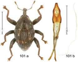 Figure 101. Trigonopterus zygops Riedel, sp. n., holotype; (a) Habitus (b) Aedeagus.
