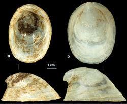 Figure 5. Shell: a Ancylus fluviatilis (topotype, Germany) b Ancylus recurvus (Zeta river, Montenegro).