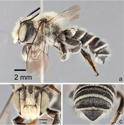 Figure 4. Male Megachile (Megachiloides) chomskyi, new species (holotype). a lateral habitus b face c dorsal view of terga 4–6.