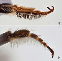 Figure 5. Front tarsi of male a Megachile (Megachiloides) chomskyi, new species, and b Megachile (Megachiloides) oenotherae (Mitchell).