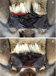 Figure 6. Apical edge of clypeus of male a Megachile (Megachiloides) chomskyi, new species (holotype), and b Megachile (Megachiloides) amica Cresson. Red arrow shows median tubercle.