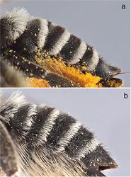 Figure 9. Metasomal terga of female a Megachile (Megachiloides) chomskyi, new species (paratype), and b Megachile (Megachiloides) amica Cresson.
