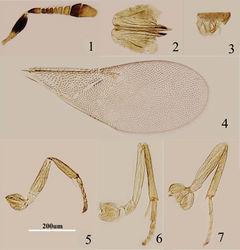 Figures 1–7. Metaphycus dorsalis sp. n. Female: 1 antenna 2 ovipositor 3 palpal formula 4 fore wing 5 fore leg 6 mid leg 7 hind leg.
