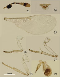 Figures 23–29. Metaphycus chinensis sp. n. Female: 23 antenna 24 palpal formula 25 fore wing 26 fore leg 27 mid leg 28 hind leg 29 ovipositor.